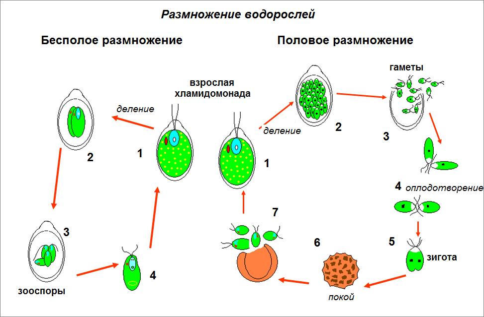 таблица хламидомонада размножение
