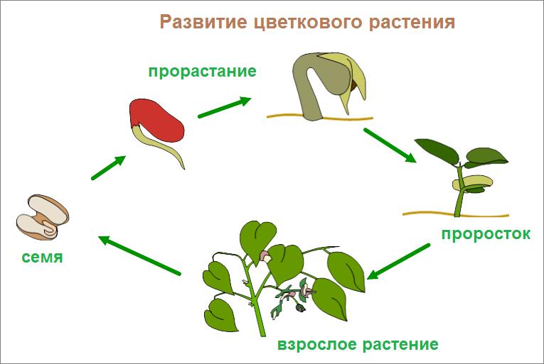 картинка как развивается растение из семени туле стали выпускать